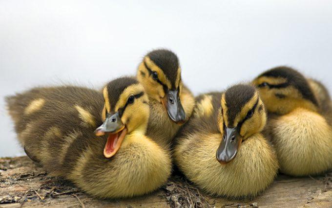 duck hd 1080p