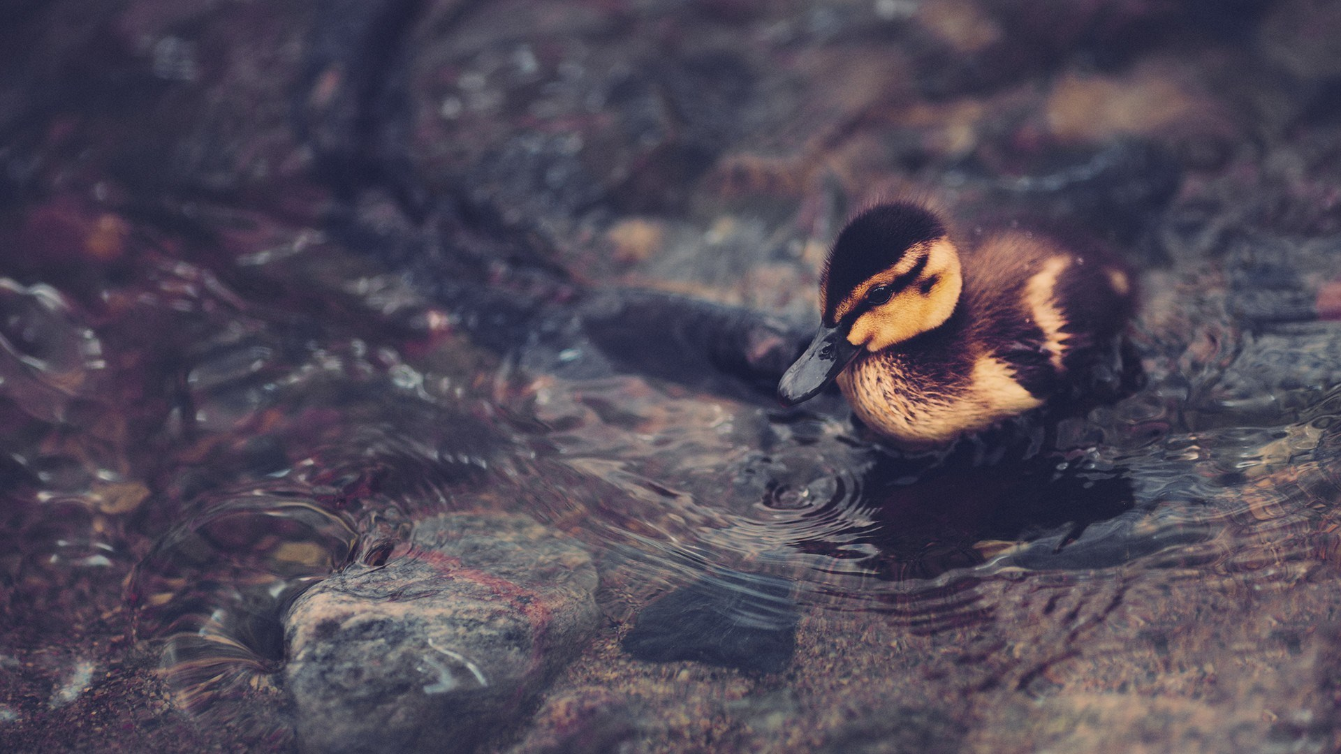 duck hd background