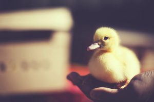 duck images A3
