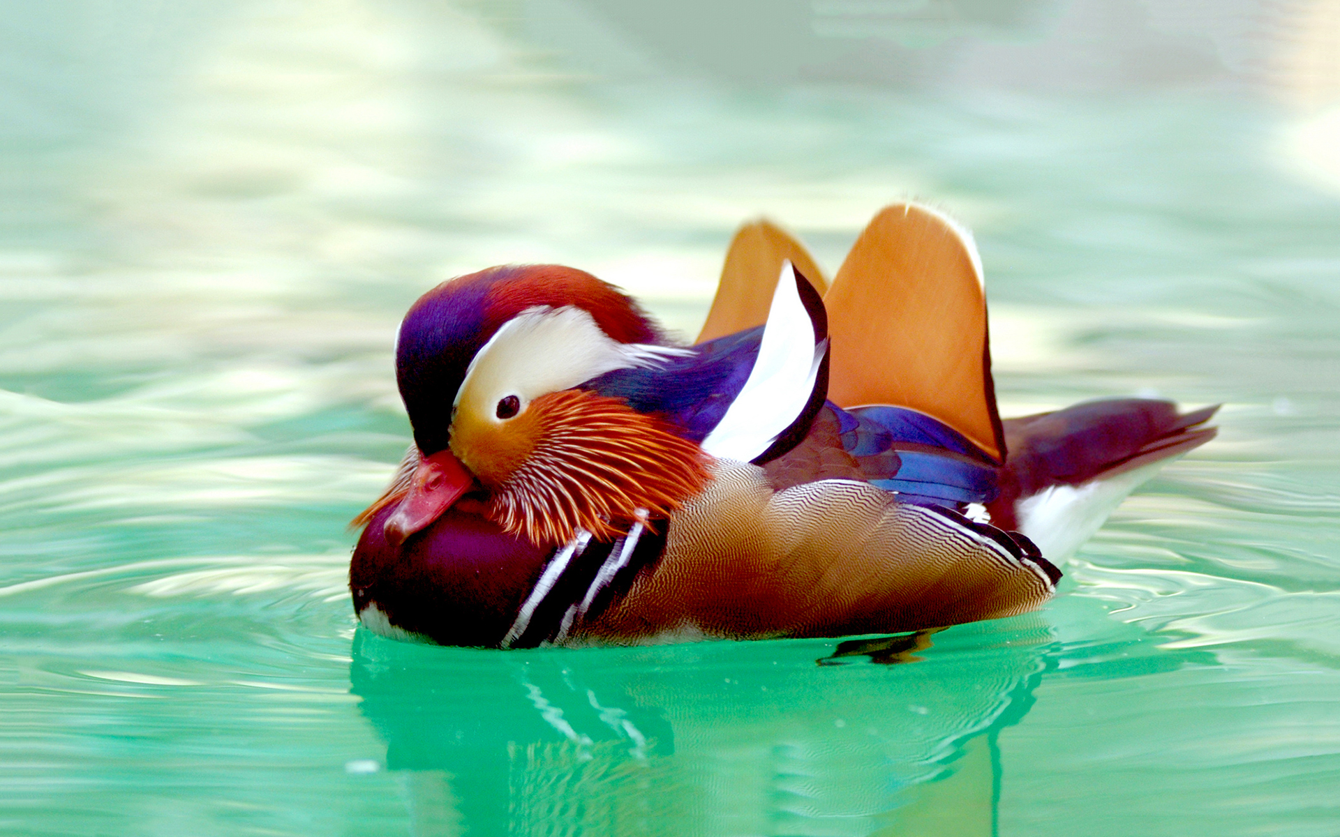 duck images andarin