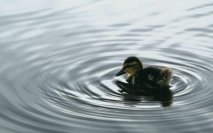 duck photo