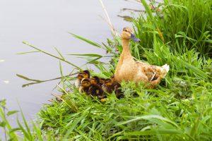 duck pics
