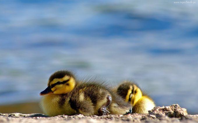 duck pics hd