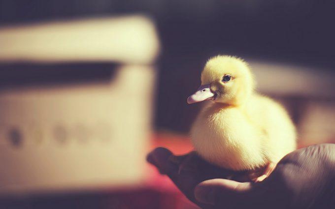 duck wallpaper cute