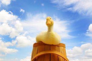 duck wallpaper download