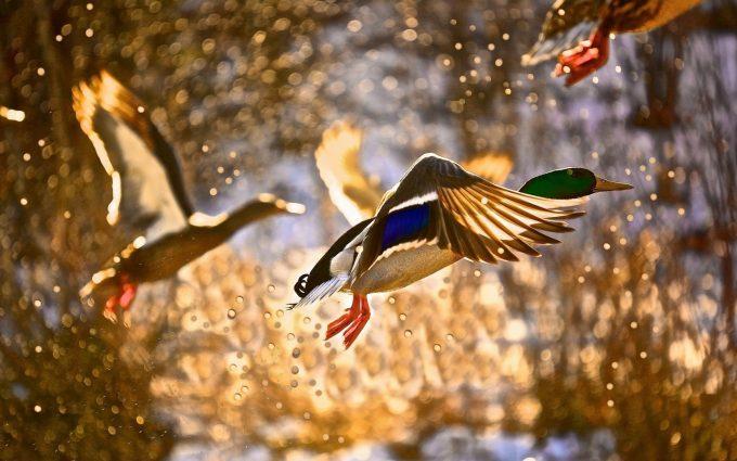 duck wallpaper flying
