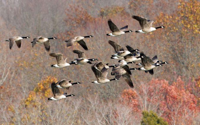 duck wallpaper flying hd