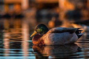 duck wallpaper lake