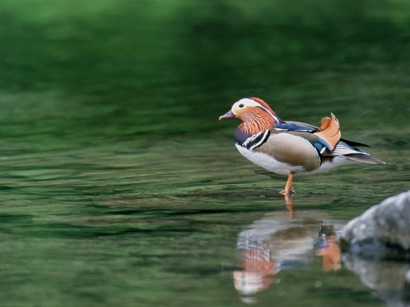 duck wallpaper wild