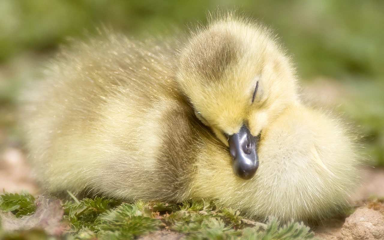 duck wallpapers cute