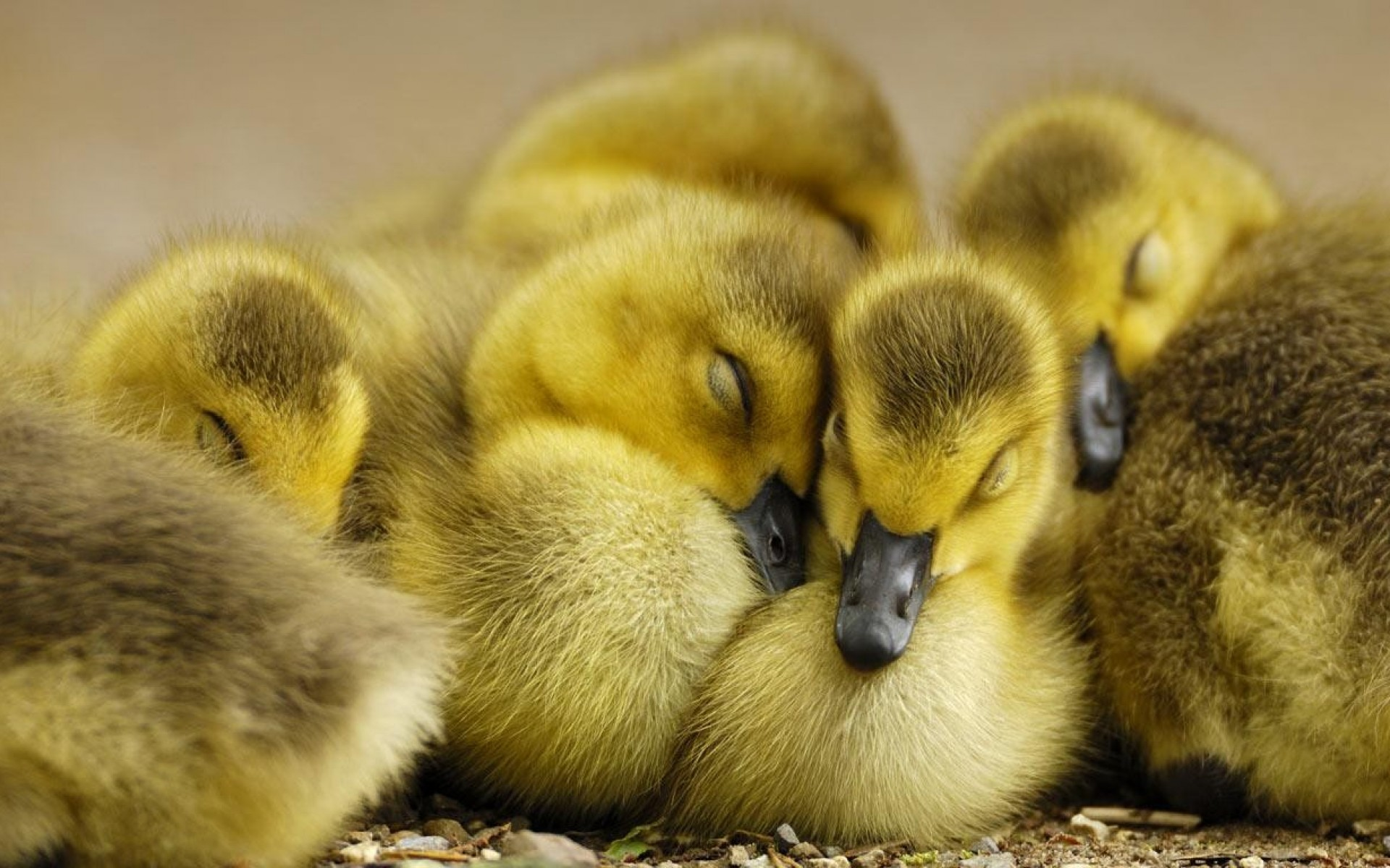 duckling wallpaper hd