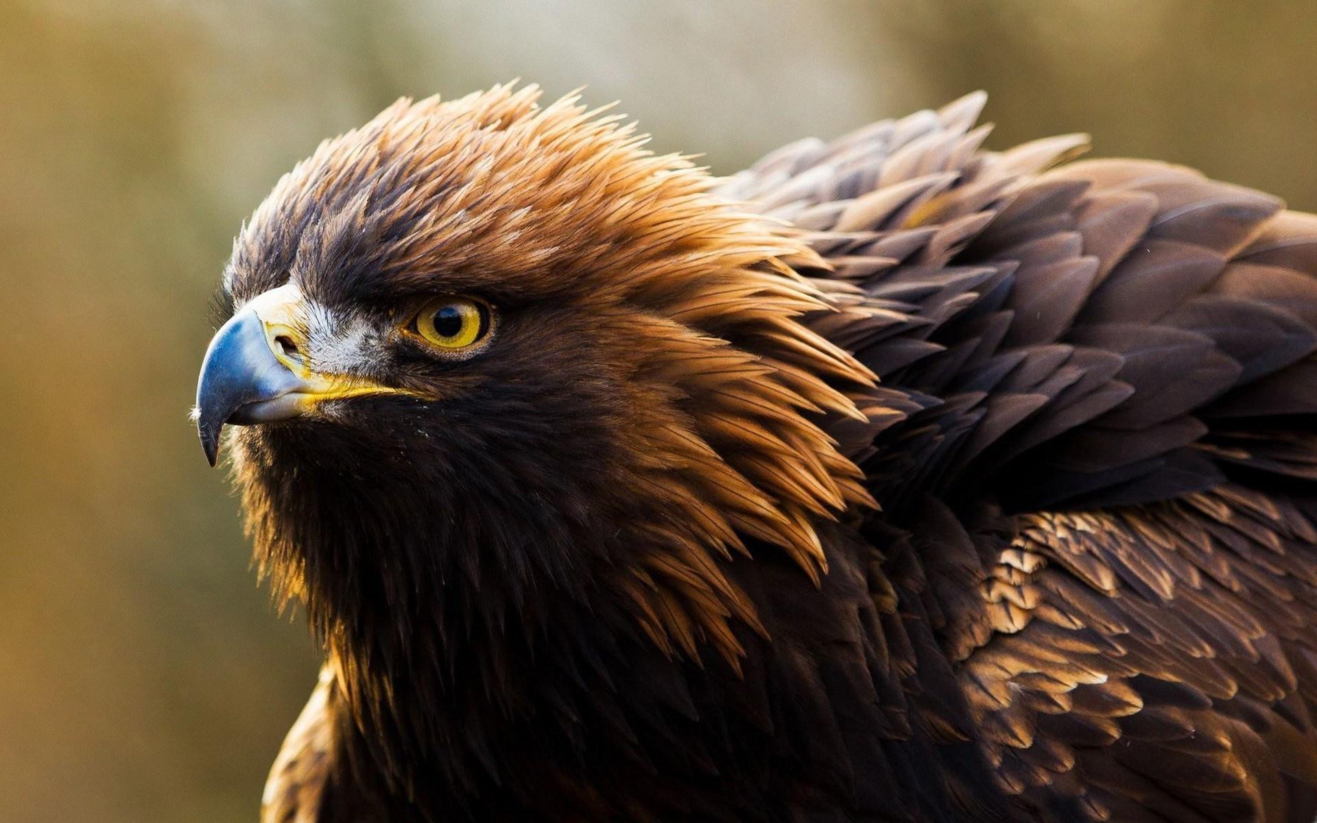 eagle desktop wallpaper