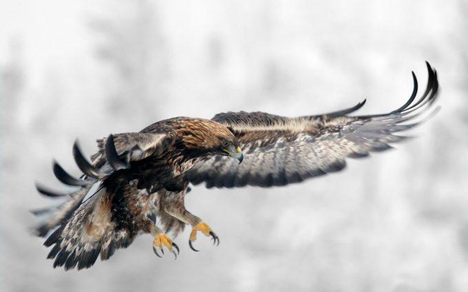 eagle flying hd