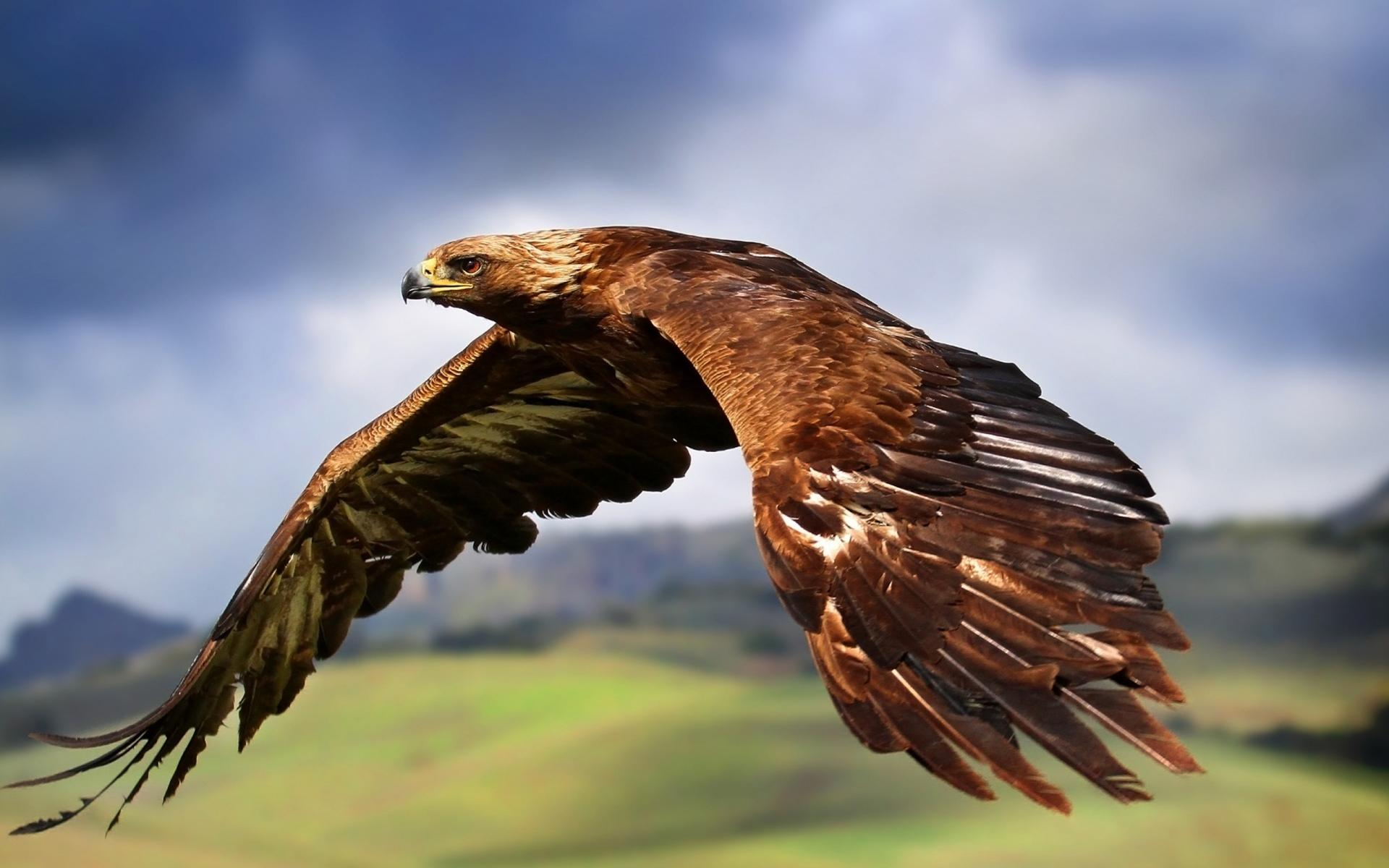 eagle hd flying