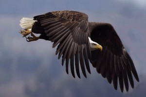 eagle pics wallpaper