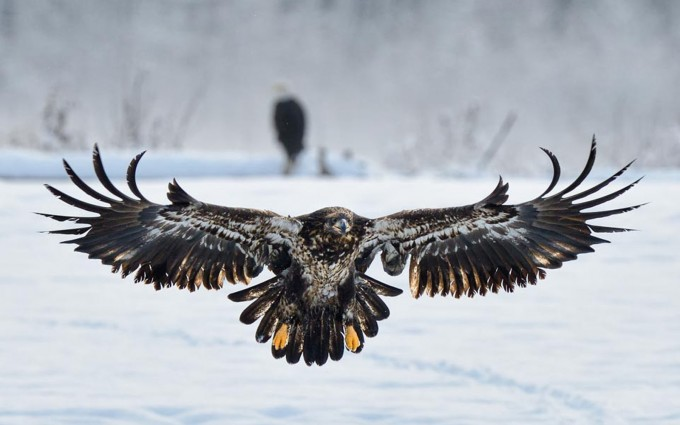 eagle picture download