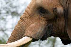 elephant desktop