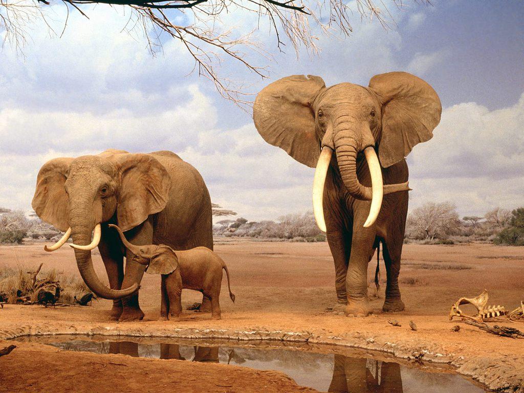 elephant hd wallpaper