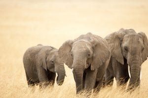 Family of African elephants (Loxodonta africana), Masai Mara National Reserve, Kenya, Africa.