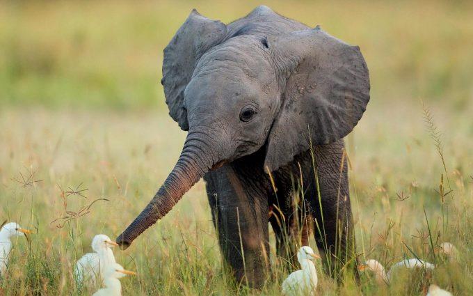 elephant wallpaper desktop free download
