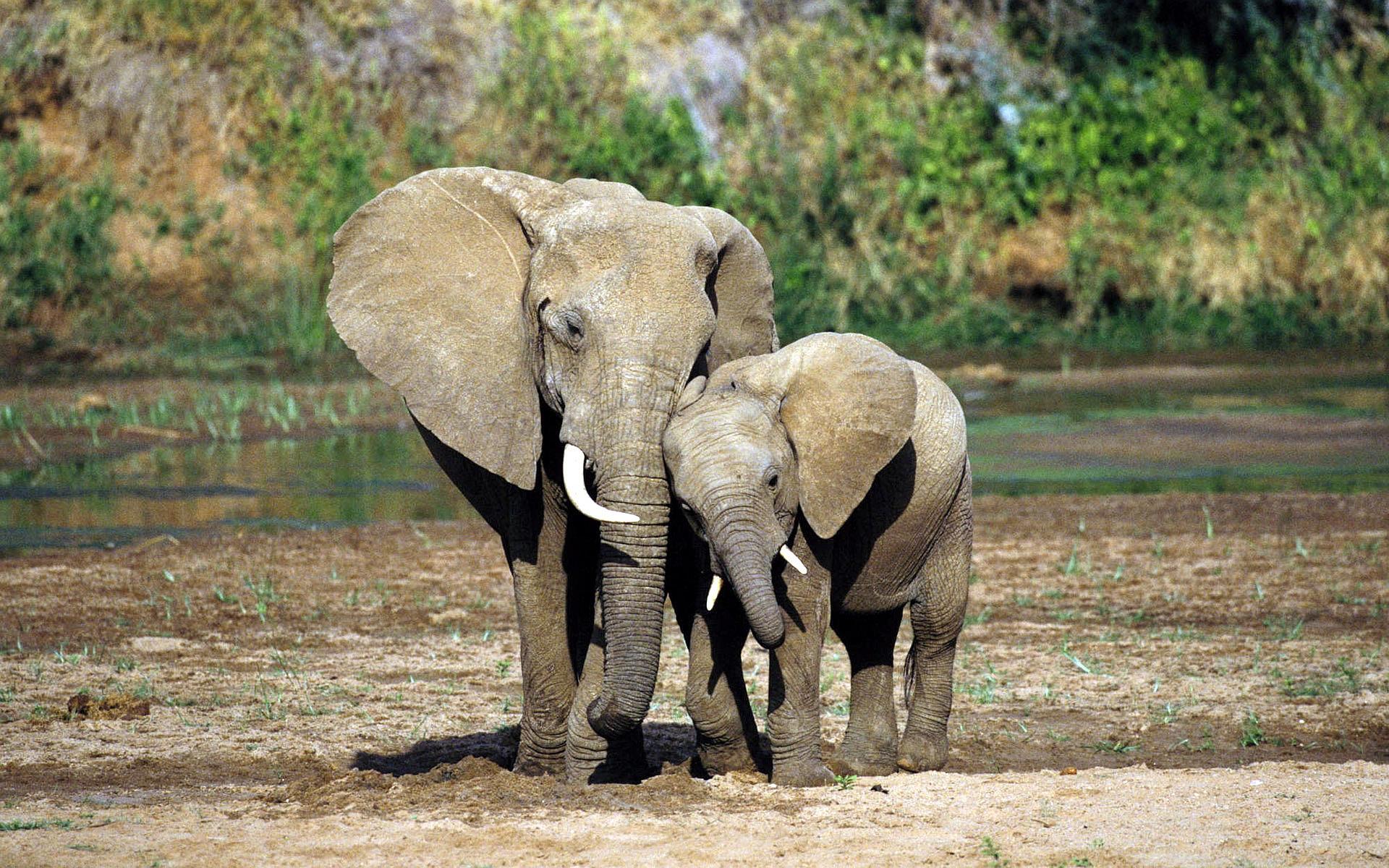 elephants hd wallpapers