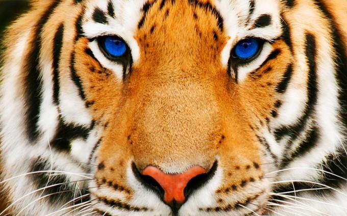 eye of the tiger wallpaper