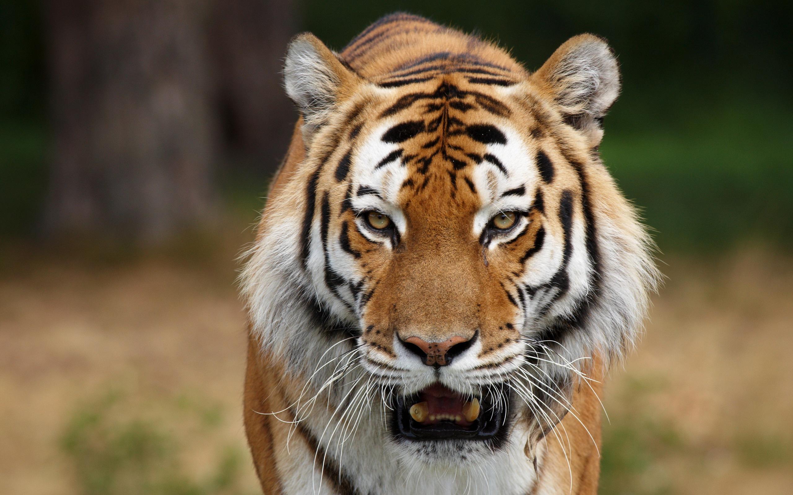 face tiger
