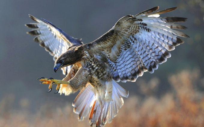 falcon images