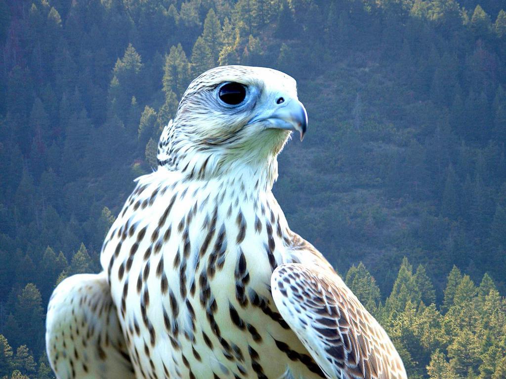falcon wallpaper desktop