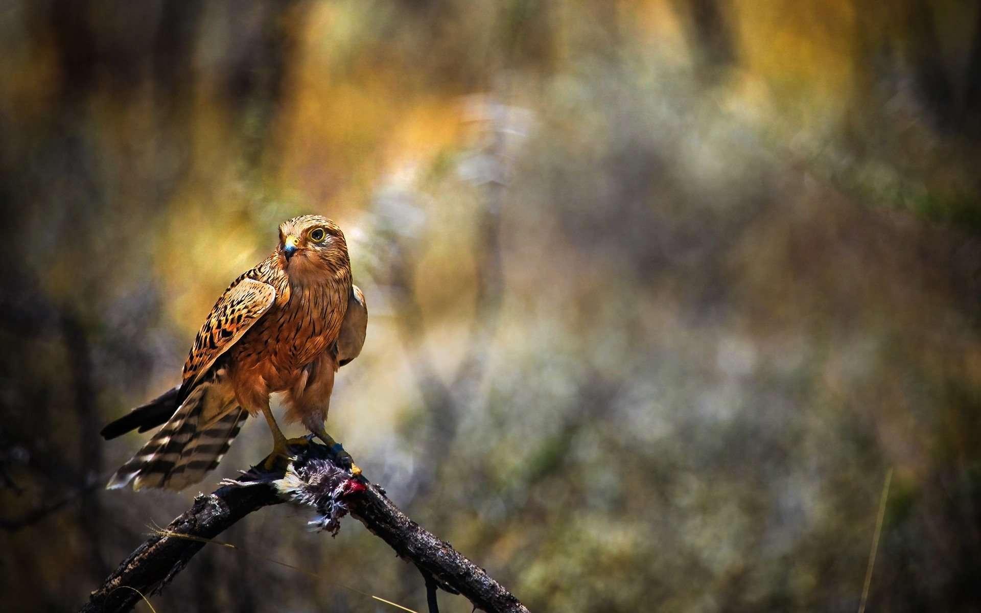 falcon wallpaper download