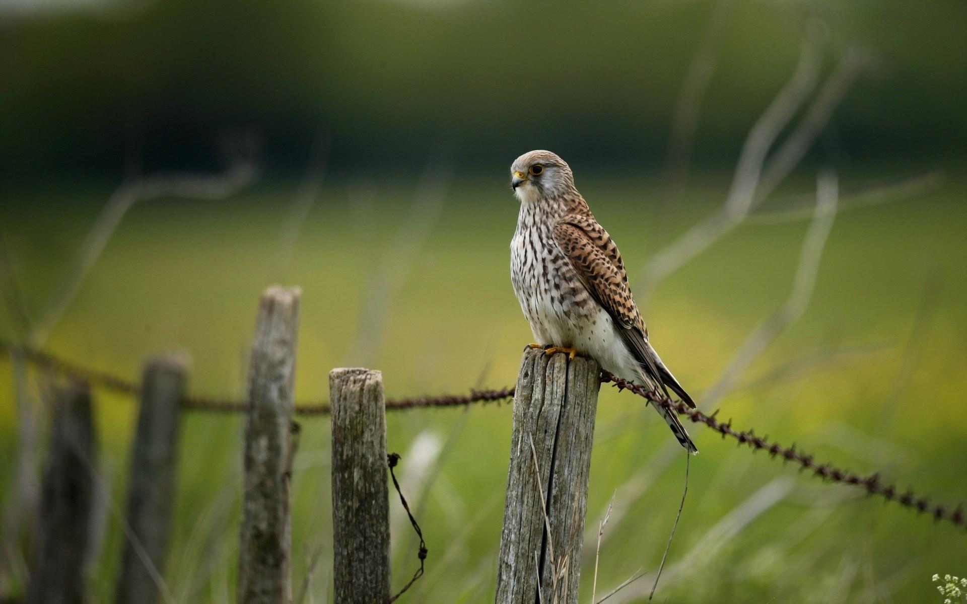 falcon wallpaper nature