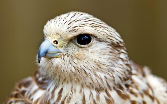 falcon wallpapers hd