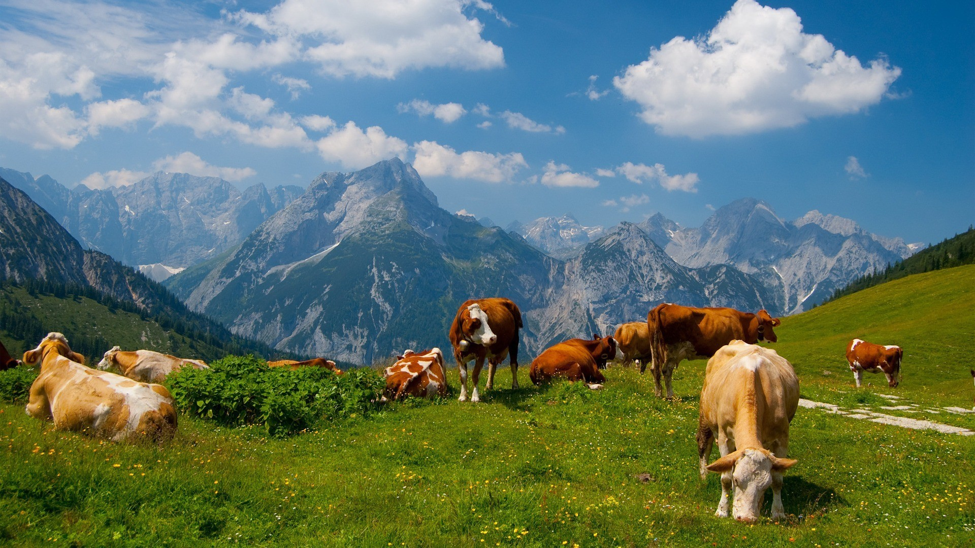 fantastic cattle wallpaper