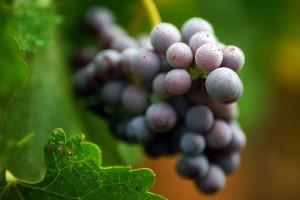 fantastic grapes