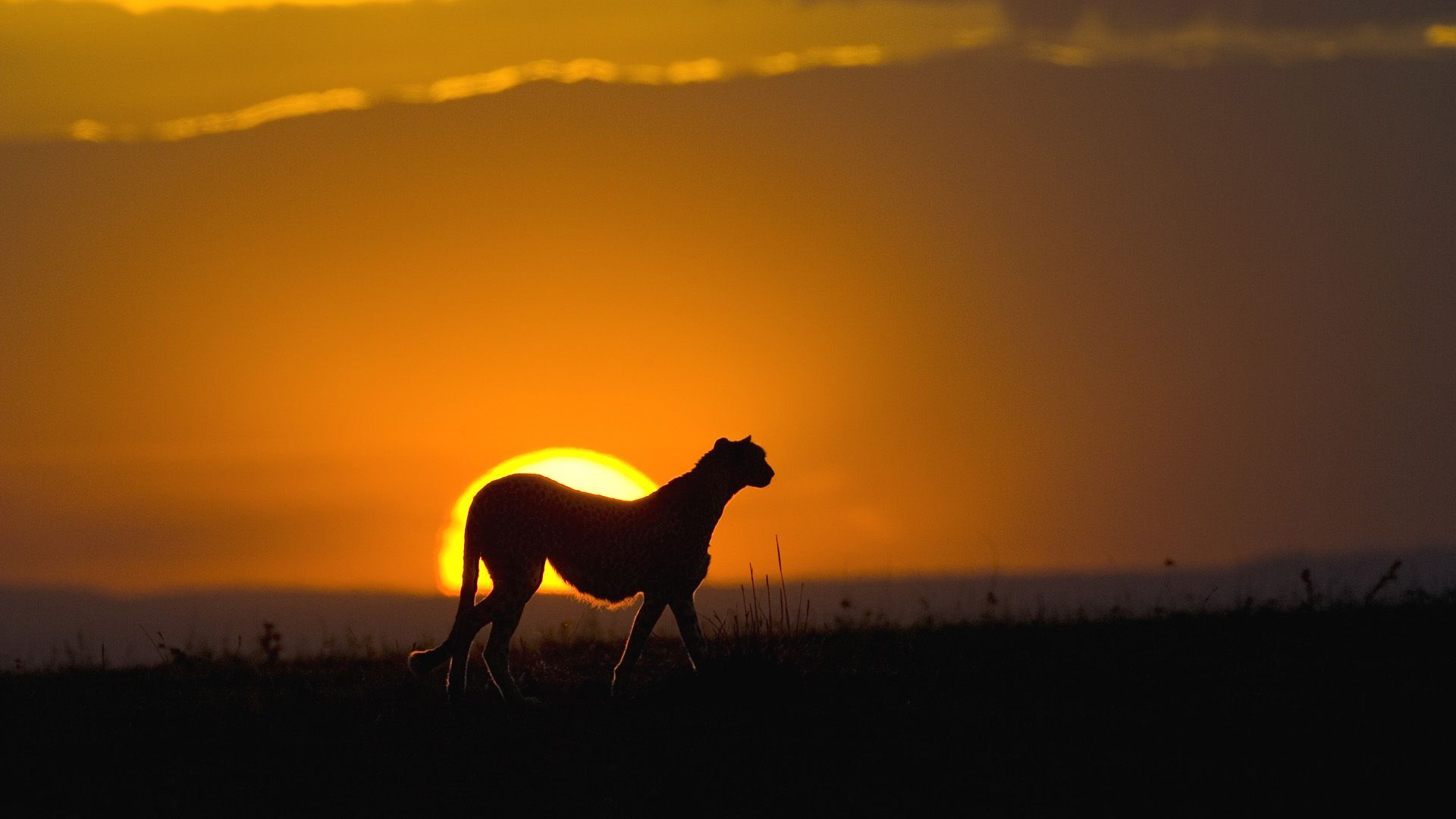 Cheetah (Acinonyx jubatus), female silhouetted at sunset, Maasai Mara Reserve,  Kenya