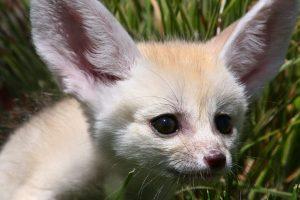 fennec fox cte