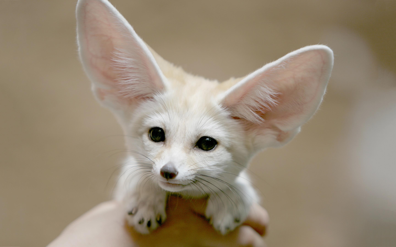 fennec fox small