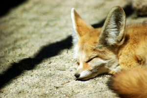 fennec fox wallpapers