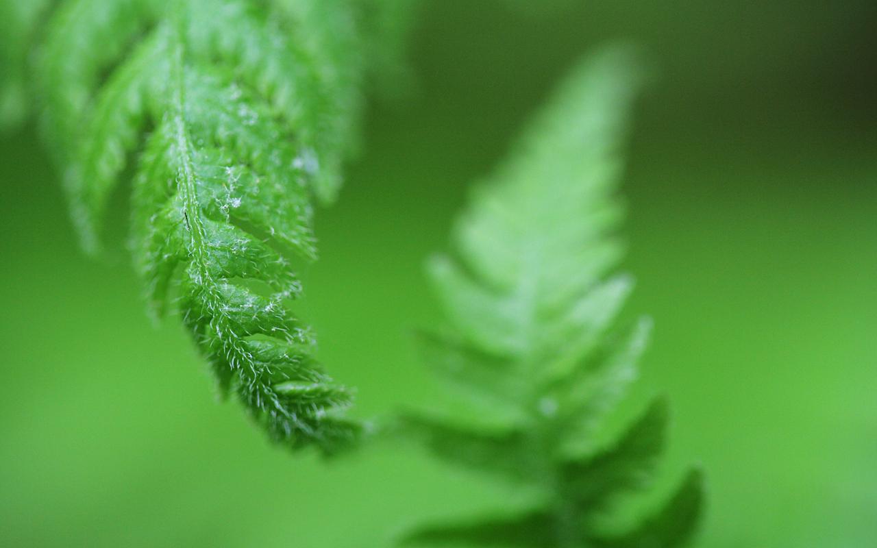 fern wallpapers
