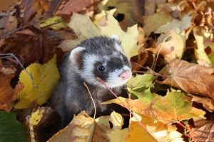 ferret autumn leaves