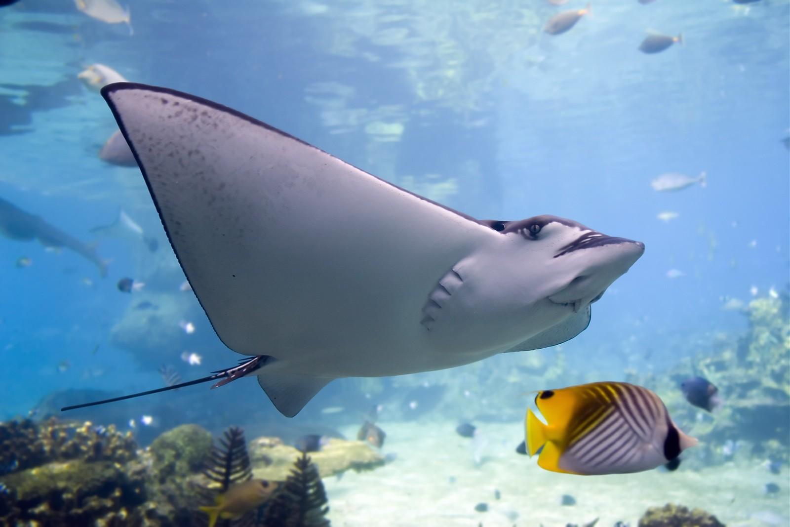 fish manta ray