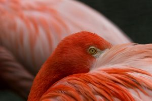 flamingo bird images