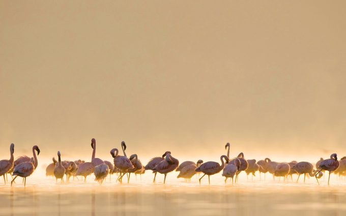 flamingos birds breed