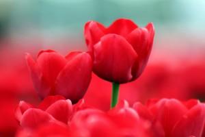 flower tulip wallpaper summer