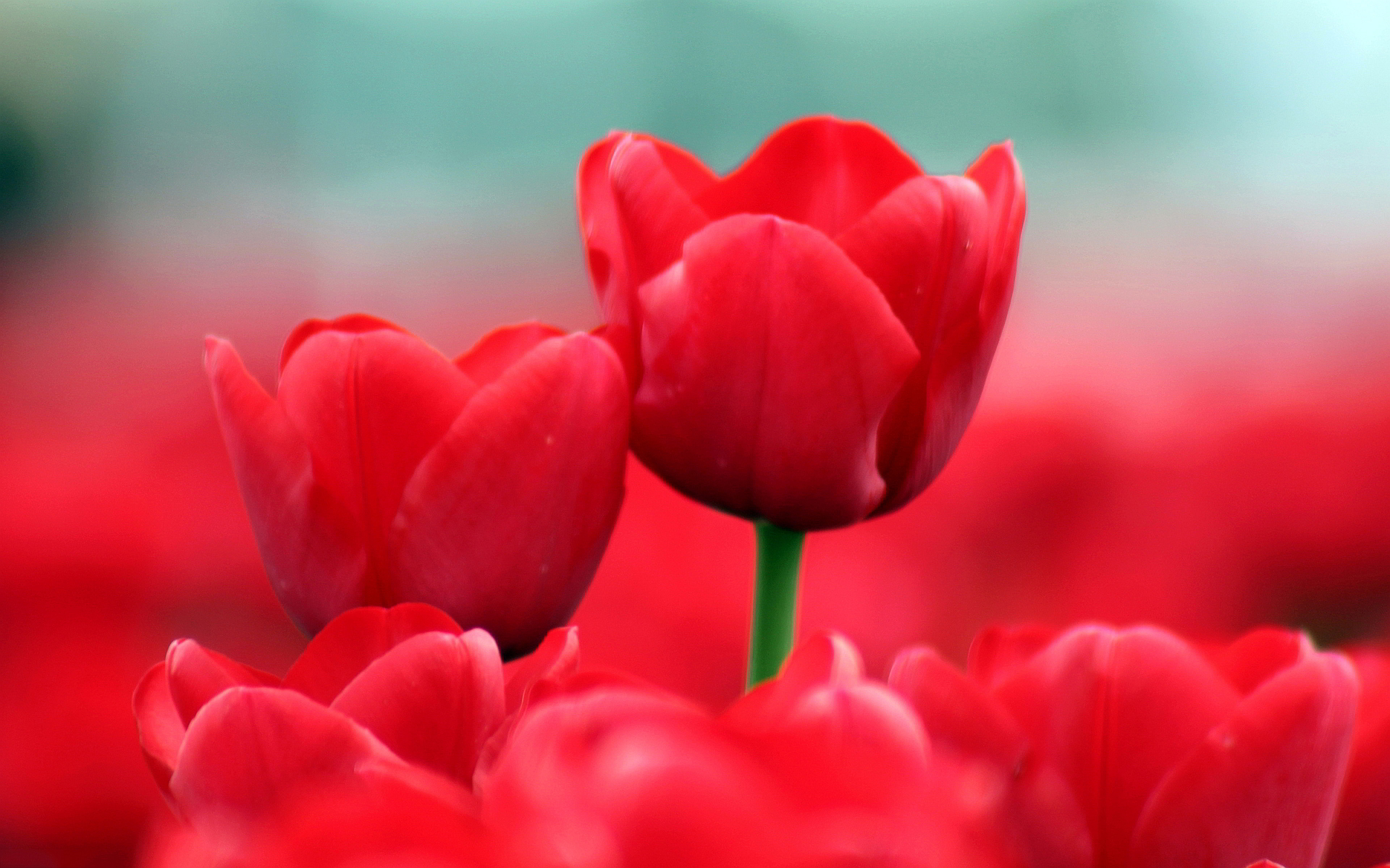 flower tulip wallpaper summer