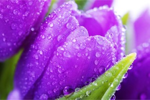 flowers tulips pictures purple