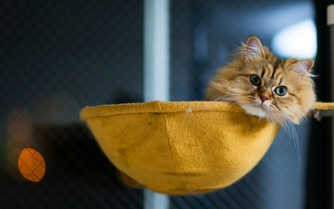 fluffy cat hd