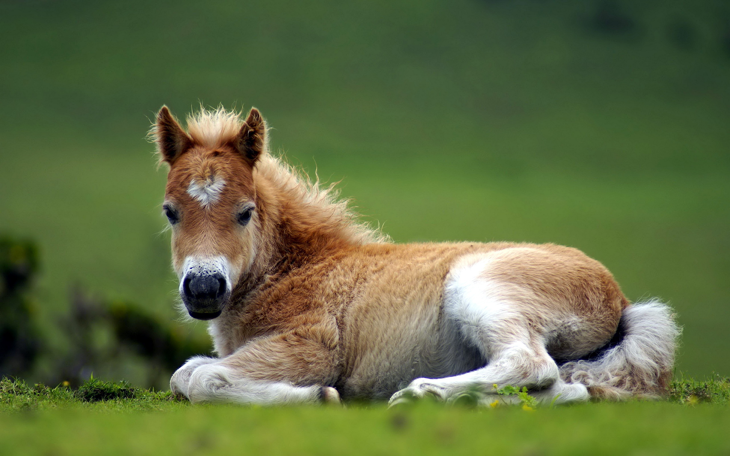 foal wallpaper