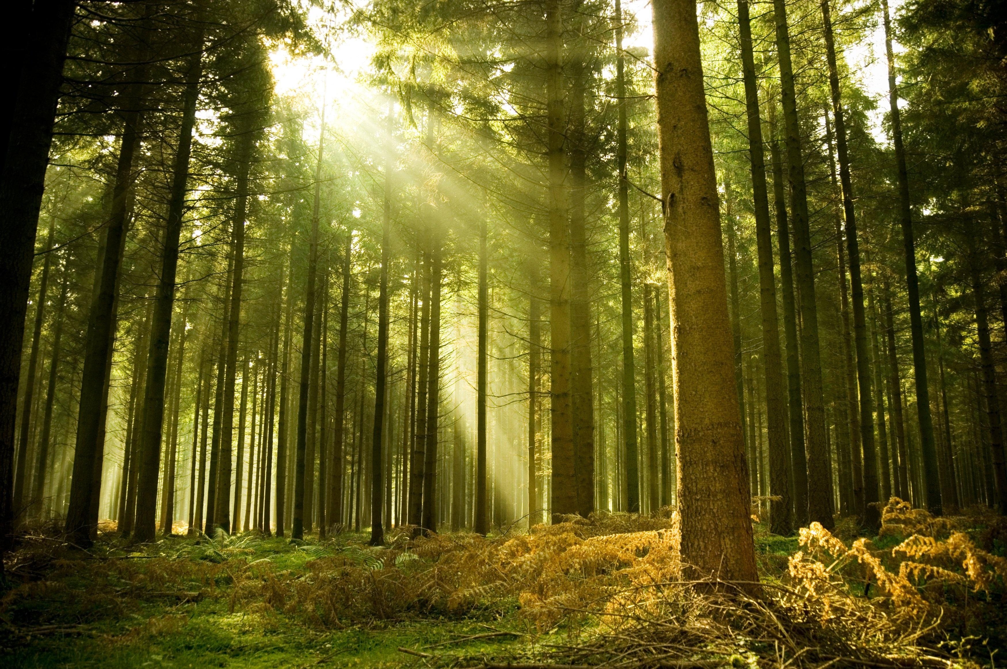 forest wallpaper sunshine