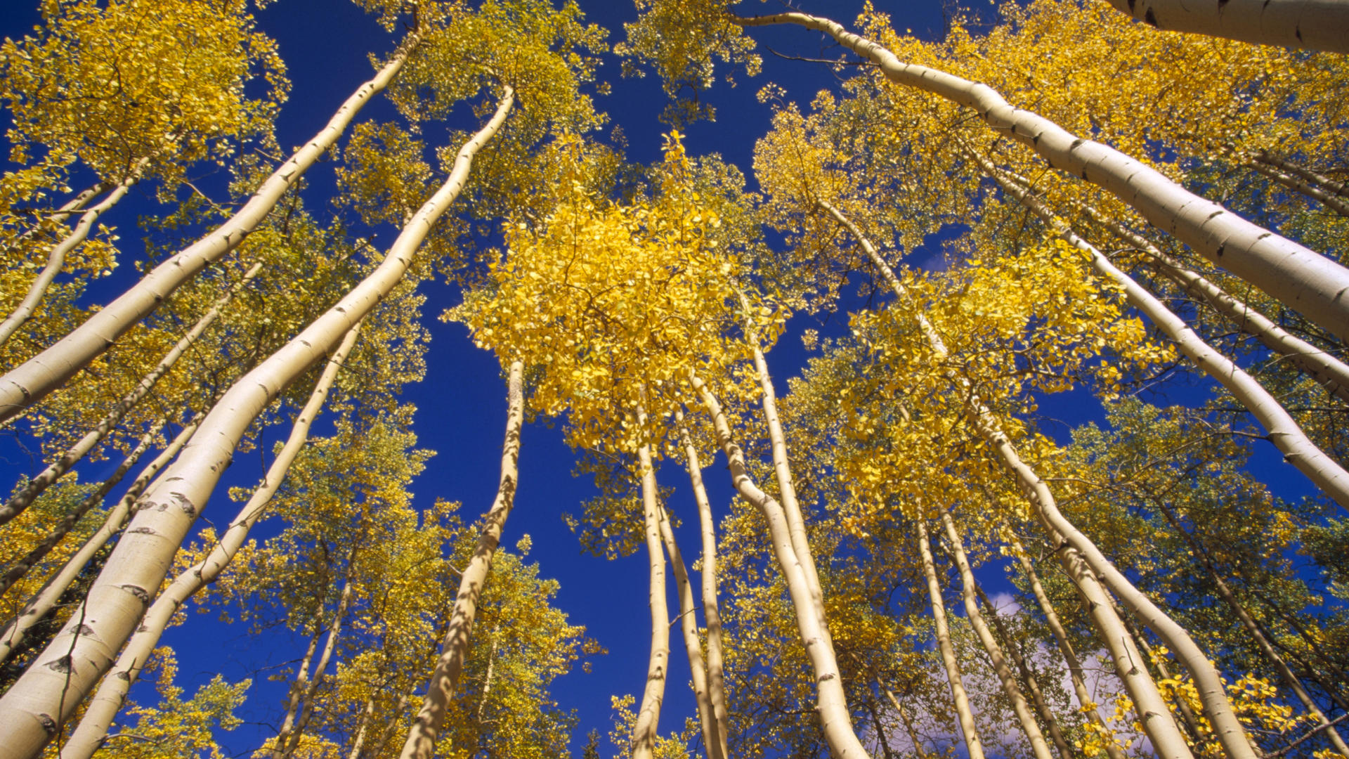 ASPEN (Populus tremuloides), TREES IN FALL COLOR, VIEW LOOKING UP FROM FOREST FLOOR, YUKON, CANADA